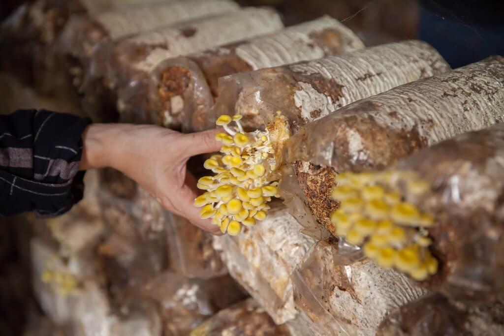 埔里景點-豐年菇類生態農場