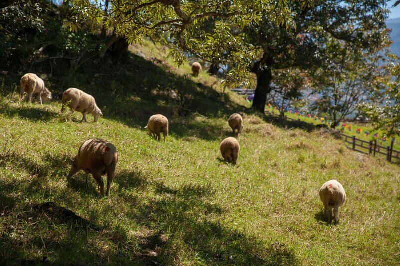 清境景點-清境農場(觀山牧場)